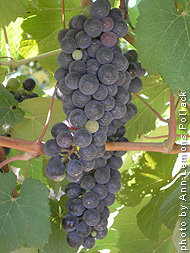 Cabernet-Norton-grape.jpg