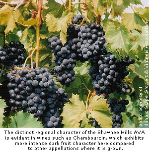 Chambourcin grapes