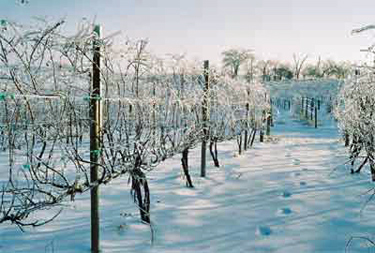 Iowa-Frozen-vineyard-375.jpg