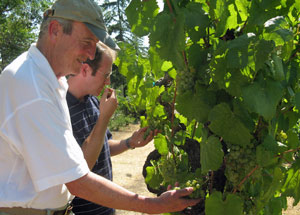 Larkmead-checking-tocai-vines