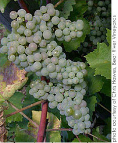 Riesling-cluster