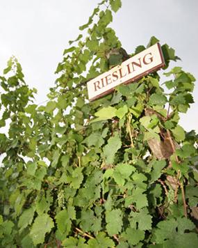 Riesling-vines-