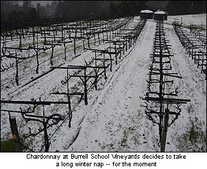 Burrell School's Chardonnay vineyard under a dusting of snow