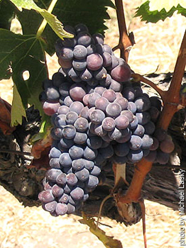 Syrah-Shiraz-grape-262.jpg