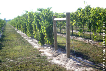 Zinthiana-vineyard.jpg