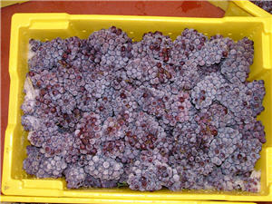 frozen pinot gris in picking bin