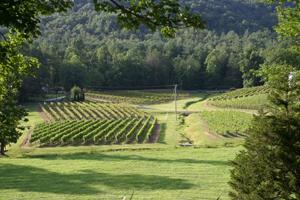 persimmon-vineyard-300.jpg