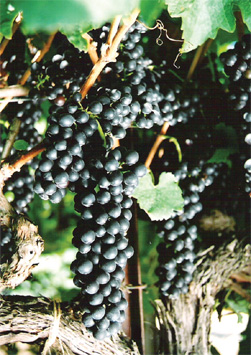 The genetic origin of California's Petite Sirah has been traced to the Rhone's obscure Durif grape - a late 19th century crossing of Syrah and Peloursin.