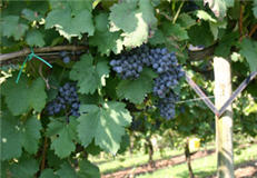 Tannat grapes