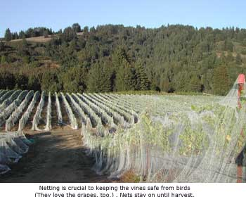 Windy Oaks Vineyard netting