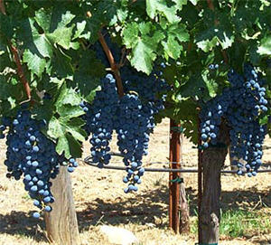 The Petite Sirah cultivar has an acute sense of place, with wines expressing great regional variability.