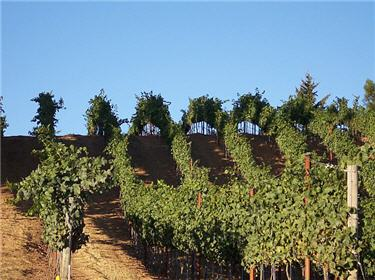Pinot Noir vines are neatly landscaped to exploit the terroir characteristics of the Santa Cruz Mountains hillsides.