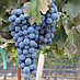 Eastern Cabernet Franc is coming into its own