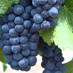 Pinot Noir is a richly coveted grape.